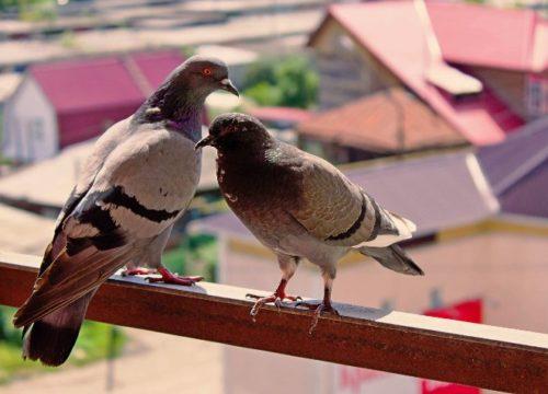Come risolvere il problema dei piccioni sul balcone